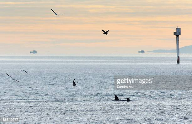 A pod of Orca whales are seen off St Heliers Bay on June 24 2009 in Auckland New Zealand New Zealand Orcas or Killer whales are the only known orca...