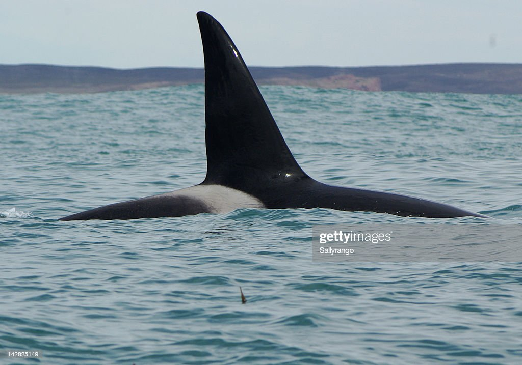 Pod of Orcas in Patagonia : Stock Photo