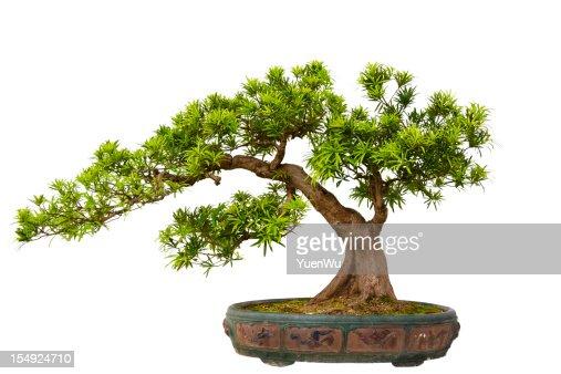 Podocarpus macrophyllus (Kusamaki or Inumaki) Bonsai