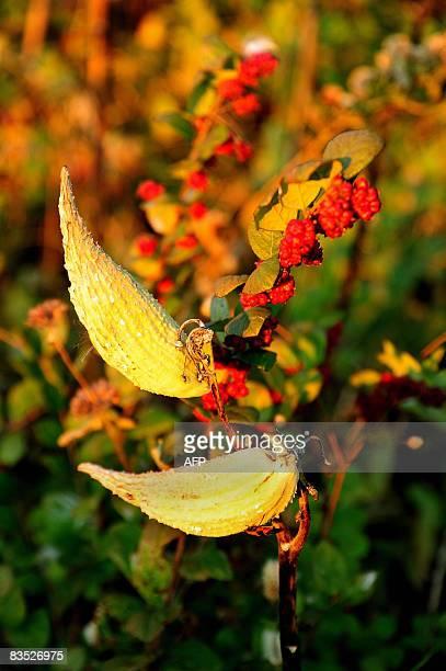 Pods on a milkweed plant in the Shenandoah National Park November 1 2008 AFP PHOTO/Karen BLEIER