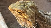 Pogona Vitticeps or Bearded Dragon, drinking water in the pool. close up