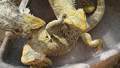close-up of 3 Pogona Vitticeps playing in the water pool and basking in the sun because are cold blooded species.