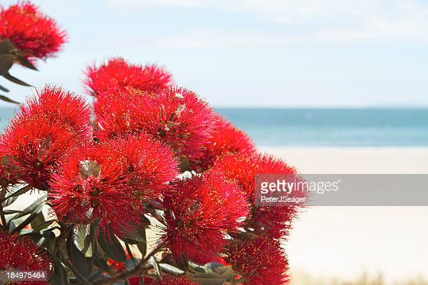Pohutukawa flowers over beach