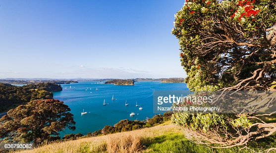 Pohutukawa iconic New Zealand tree with view of East coast Bays, Auckland, New Zealand.