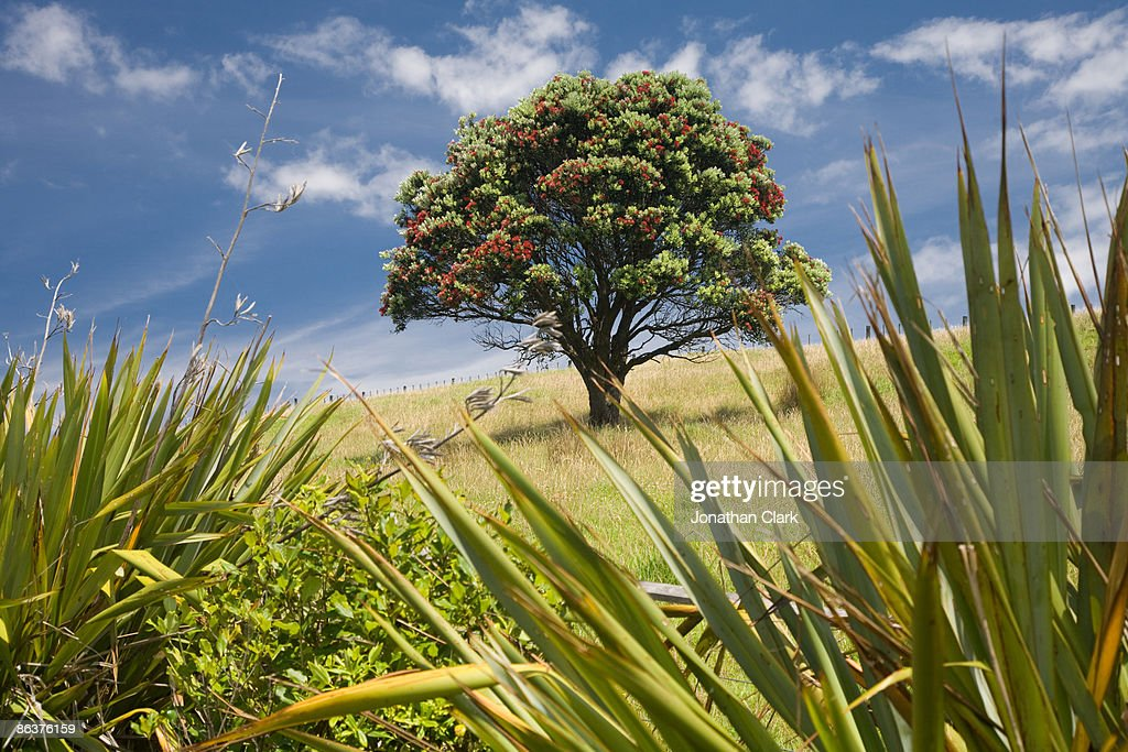 Pohutukawa Tree and Flax bushes : Stock Photo