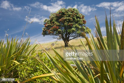 Pohutukawa Tree and Flax bushes