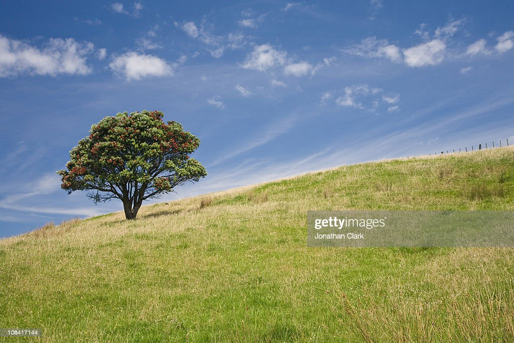 Pohutukawa tree on Hill : Stock Photo