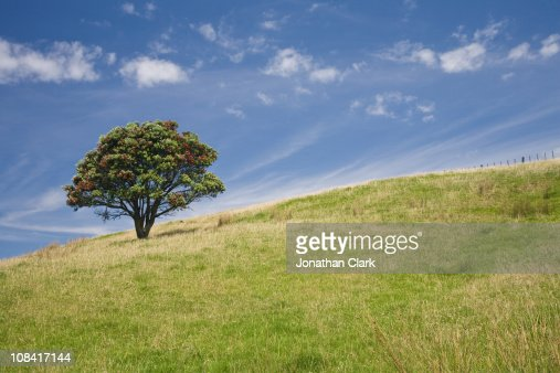 Pohutukawa tree on Hill