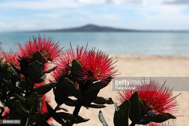 Pohutukawa trees in bloom at Kohimarama beach on December 11 2017 in Auckland New Zealand The pohutukawa tree and its crimson flowers have become an...