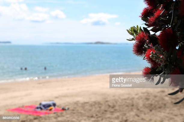 Pohutukawa trees in bloom on Auckland's waterfront on December 11 2017 in Auckland New Zealand The pohutukawa tree and its crimson flowers have...