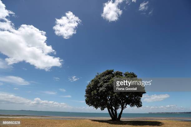 Pohutukawa trees just starting to bloom at Cornwallis on December 11 2017 in Auckland New Zealand The pohutukawa tree and its crimson flowers have...