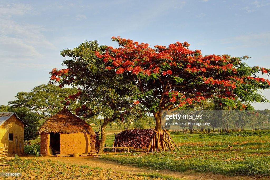 Poinciana tree : Stock Photo