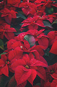 Flowerbed of red poinsetia flowers with waterdrops, retro toned