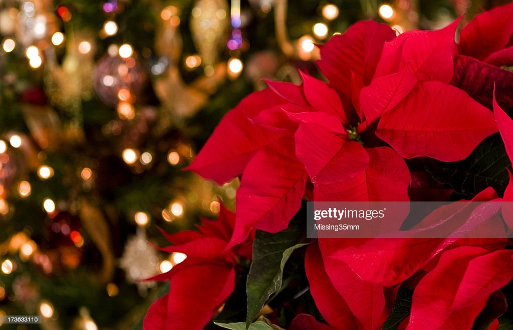 poinsettia u0026 christmas lights background stock photo - Christmas Poinsettia