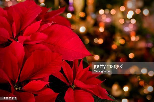 Poinsettia & lumières de Noël en arrière-plan