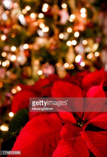 Poinsettia & Christmas Lights Background