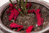 poinsettia (Euphorbia pulcherrima) flower dry leaves on the vase.