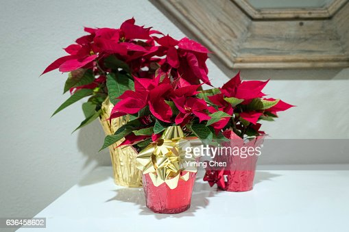 Poinsettia on Christmas : ストックフォト