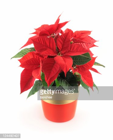 Poinsettia Stock Photos and Pictures | Getty Images