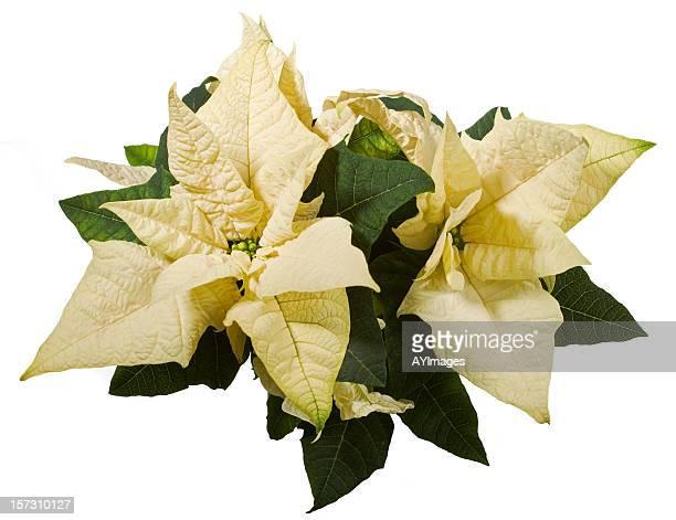 Poinsettia (Euphorbe pulcherrima)