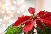 Christmas flower poinsettia indoor on defocused lights background space for text