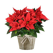 Red poinsettia plant in wood vase isolated on white