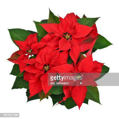 Poinsettia Plant Top View Stock Photo | Getty Images