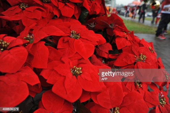 Poinsettias are on display in Taipei on December 22 2013 AFP PHOTO / Mandy CHENG