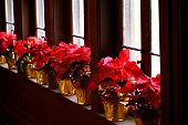 Potted Poinsettia flowers
