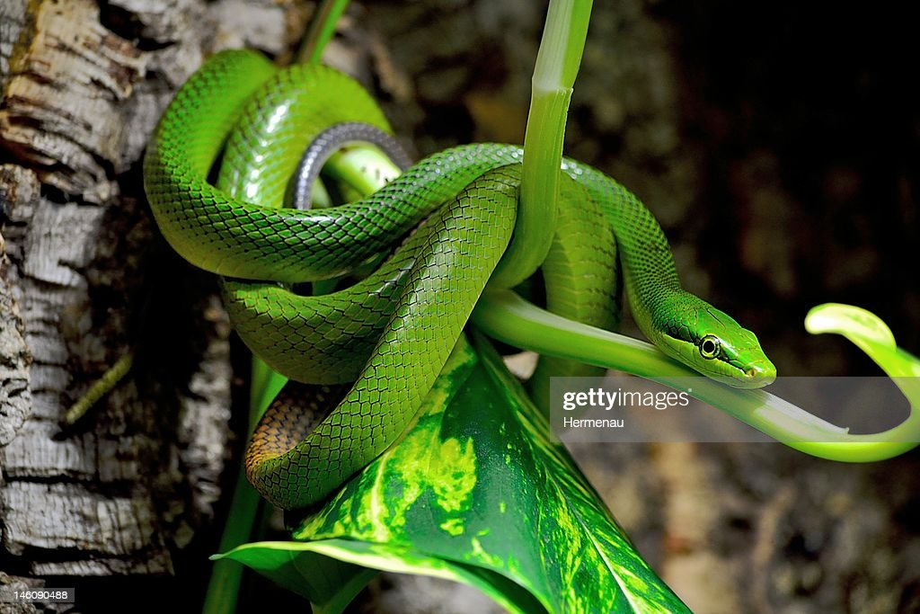 Pointed Snake : Stock Photo