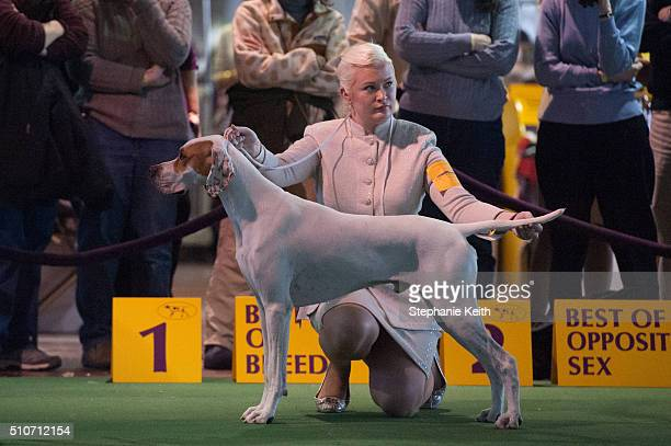 Pointer competes in the ring on the second day of the 140th annual Westminster Kennel Club dog show on February 16 2016 in New York City The dog...