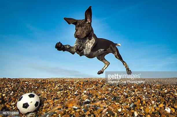 A pointer puppy jumping after a ball