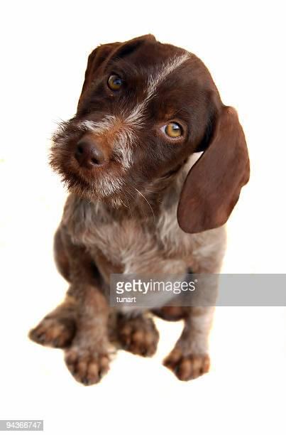 Pointer Puppy