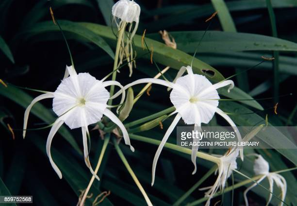 Poison bulb giant crinum lily grand crinum lily or spider lily flowers Amaryllidaceae