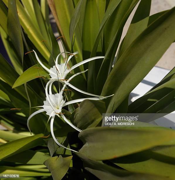 Poison bulb or Giant crinum lily Amaryllidaceae