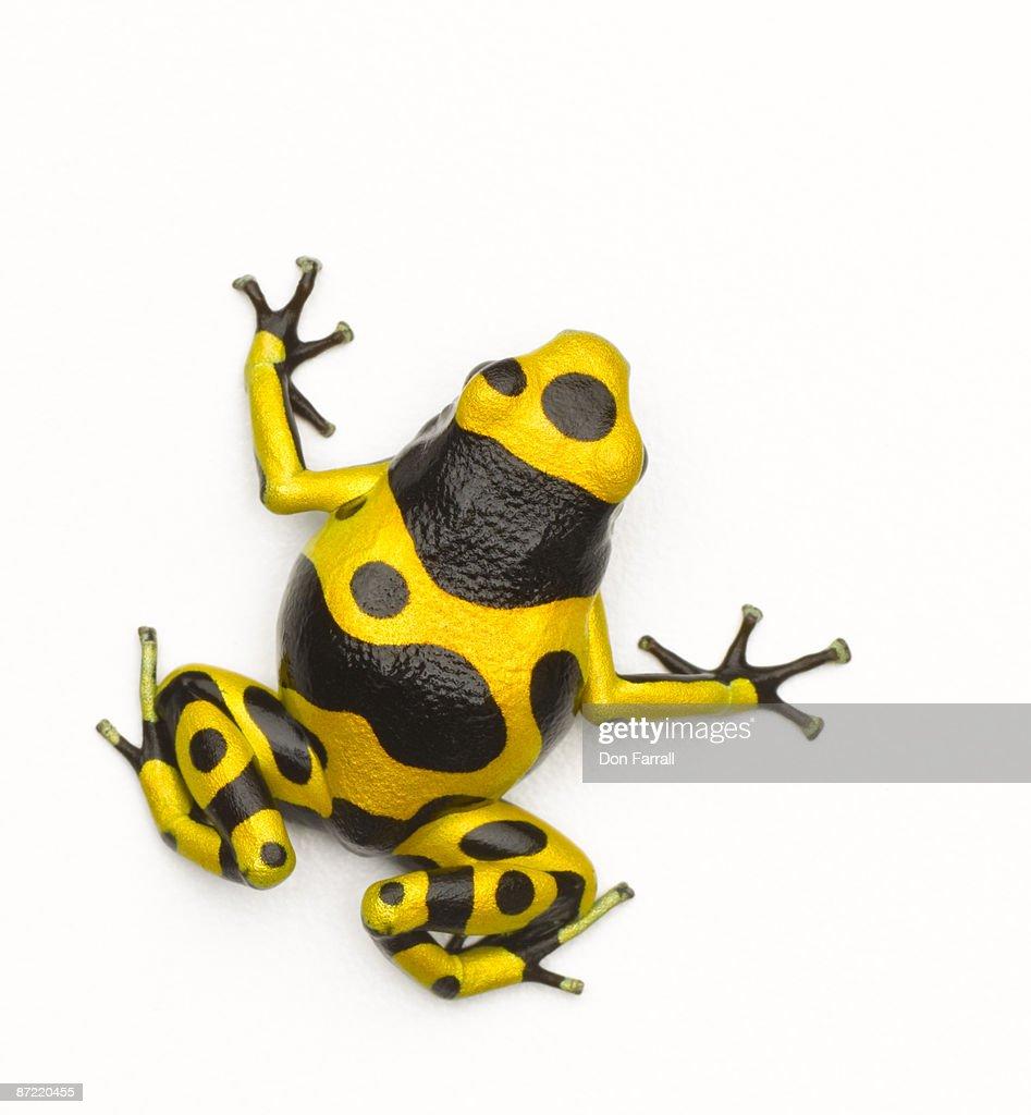 Poison Dart Frog : Stock Photo