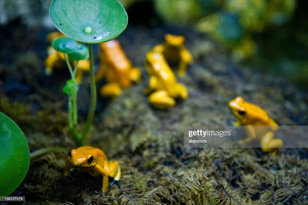 Poison frogs : Stock Photo
