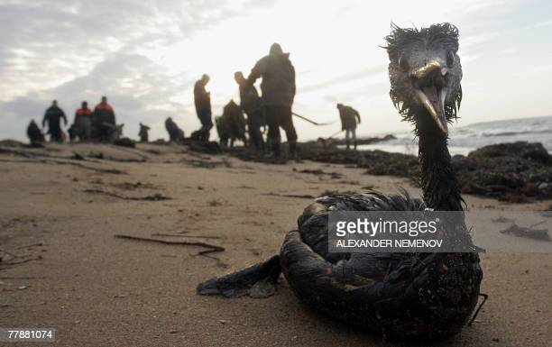 A poisoned and oil covered bird lies dying in front of local volunteers removing oil pollution from the Black Sea shore in the port Kavkaz 13...