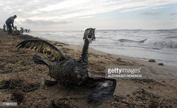 A poisoned bird is seen in front of local volunteers removing oil spill from the Black Sea shore in Port Kavkaz 13 November 2007 some 200 kilometers...