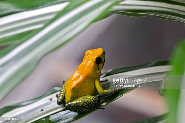 A poisonous frog is shown in Santa Fe Zoo in Medellin Colombia on January 15 2013 The Santa Fe Zoo has one of the most prestigious centers and...