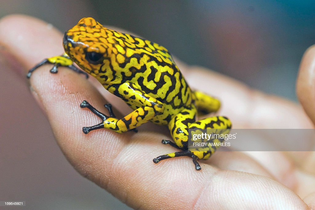 A poisonous frog (Histrionicus Oopaga) is shown in Santa Fe Zoo, in Medellin, Colombia, on January 15, 2013. The Santa Fe Zoo has one of the most prestigious centers and programs in captive breeding for research and conservation of amphibians, mainly family Dendrobatidae (poisonous frogs). Colombia is the world's richest country in frogs and toads, there are 733 species. These species are in danger of extinction due to the indiscriminate sale as pets and the damage of their natural habitat. AFP PHOTO/Fredy AMARILES
