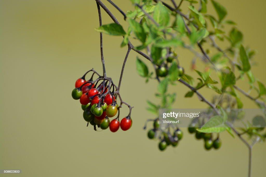 Poisonous red berries of Solanum dulcamara : Stock Photo