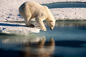 Beautiful polar bear standing on the edge of an ice floe, looking at his mirror image in the sea.