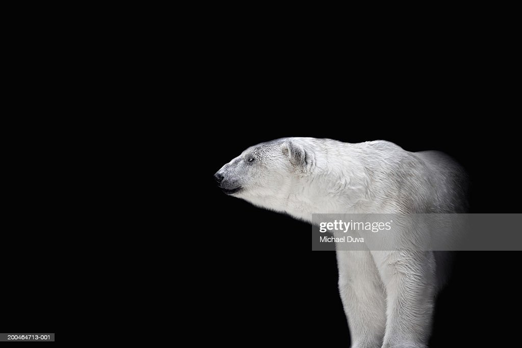 Polar bear against black background : Stock Photo