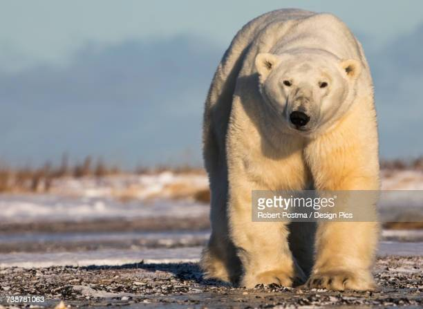 Polar bear along the coast of Hudson Bay waiting for the bay to freeze over, Manitoba, Canada