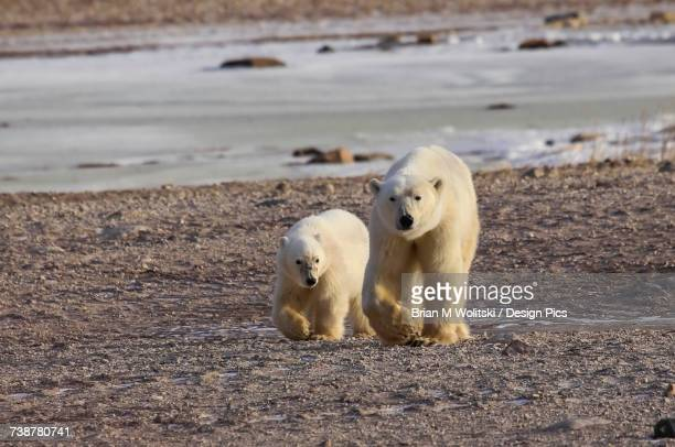 Polar bear (ursus maritimus) and cub walking side by side on the shore