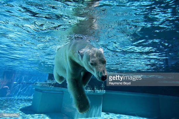 Polar Bear at Lincoln Park Zoo in Chicago Illinois on MAY 24 2013