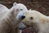 Polar Bear Buddies