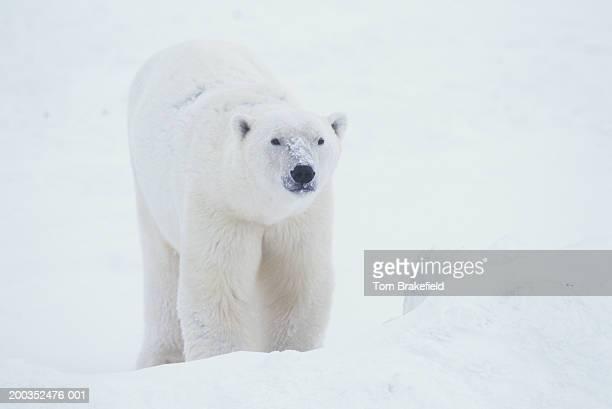 Polar bear (Ursus maritimus), Canada
