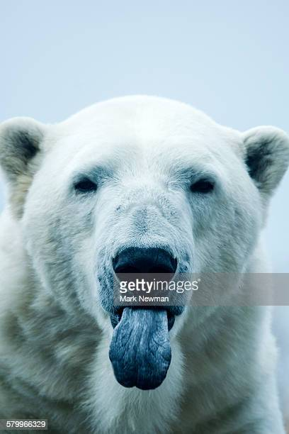 Polar Bear closeup portrait